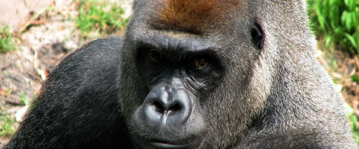 Animal Kingdom Florida - Gorilla Stare Down